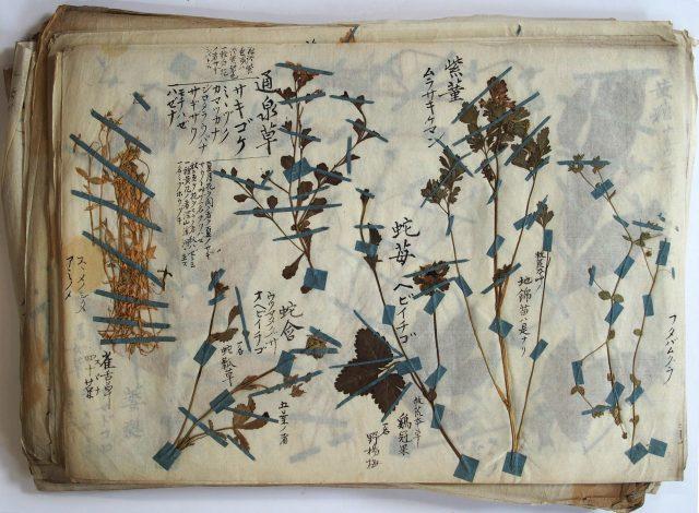 本草標本-1624g